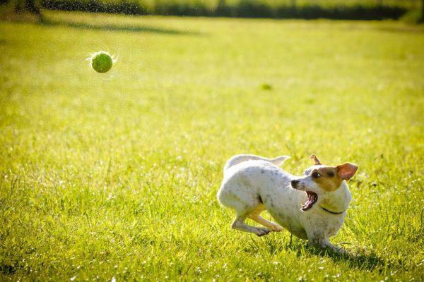 Aktivní pes